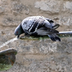 P1140255-rothenburg, duif fontein