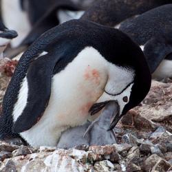 Antarctica - Mum chinstrap feeding chick