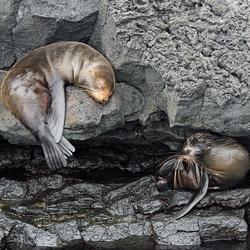 Twee zeehondjes op Santiago & North Seymour, Galapagos