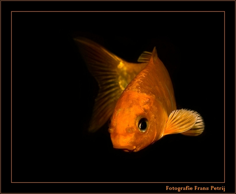 """Kleine Att - <span style=""""font-weight:bold;""""> Hallo Zoom vrienden en vriendinnen. <br /> <br /> Toen ik in het tuincentrum was om de visjes te fotog"""