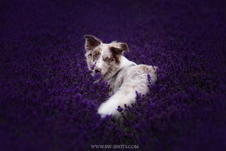 Faya in the lavander fields  -