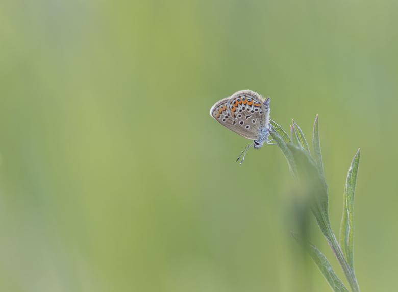 Lonely.... - Na een paar slechte macro-en vlinderdagen, gisteravond nog heel even op pad geweest. Blauwtjes waren nog laat actief. Een stukje verderop