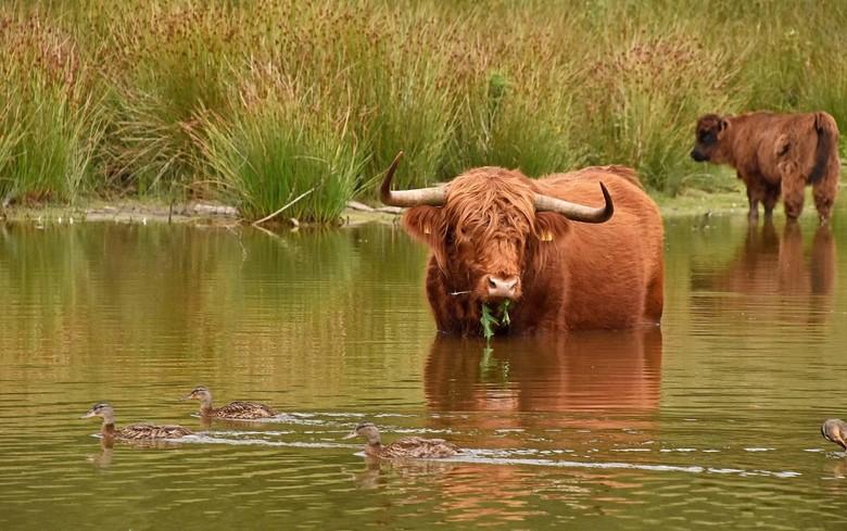 Eenden - Er zijn in Boswachterij Dorst ook eenden (heb ik nog nooit laten zien), de stier bekijkt ze op z&#039;n gemak.. ik vind het grappig <img  src