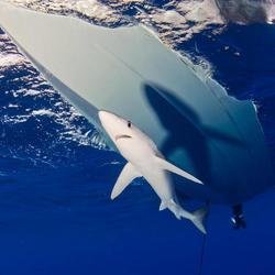 Blauwe haai onder zodiac
