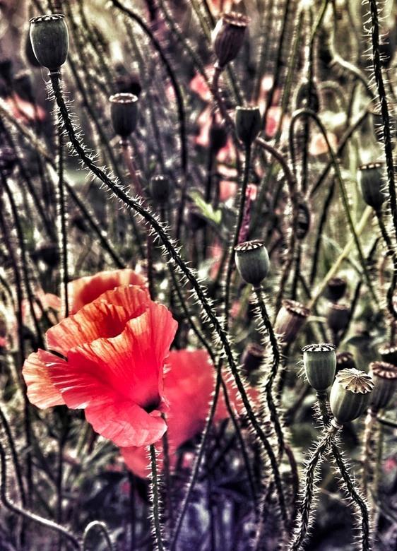 poppy's I - foto ouddorp.jpg