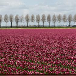 Tulpenveld (2)