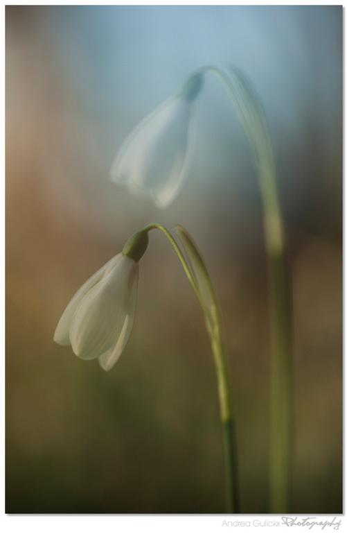 Snowdrop Serendipity