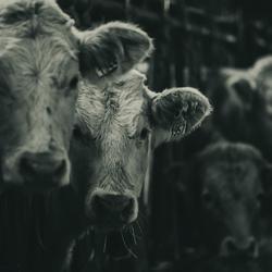 Knuffel koeien