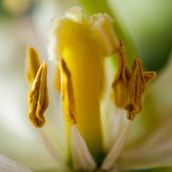 Tulpenhart in vergane staat
