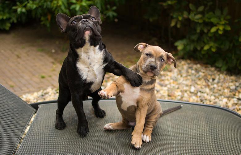 Haantje de voorste - Momentopname van een Franse Bulldog en een Staffordshire-pup.