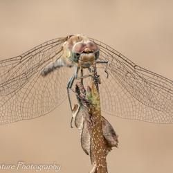 bruin-rode heidelibel