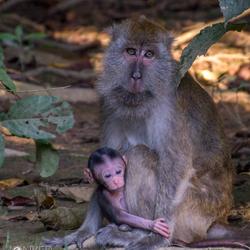 Makaak aap met baby in het wild, Borneo