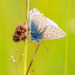 Icarusblauw