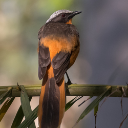 White-crowned Robin-Chat, Schubkaplawaaimaker