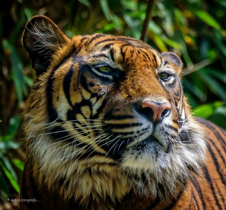 Sumatran Tiger .... - <br />