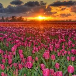 Tulpenpracht bij zonsondergang