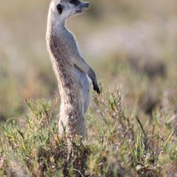 Meerkat / Stokstaart
