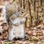 grijze eekhoorn Lake Catherine State Park