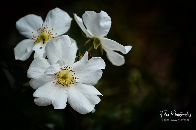 Rosa 'Anita Pereire' - Roos vernoemd naar Franse tuinarchitecte.
