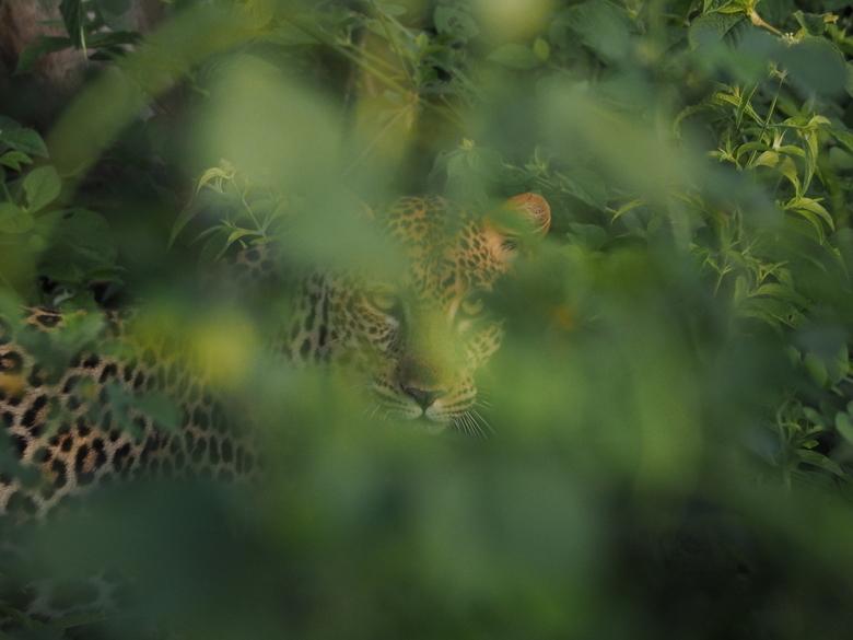 Luipaard Oeganda -