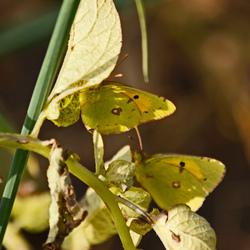 Lutzerne-vlinders