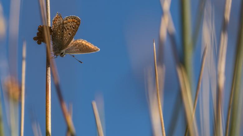 Icarus blauwtje -