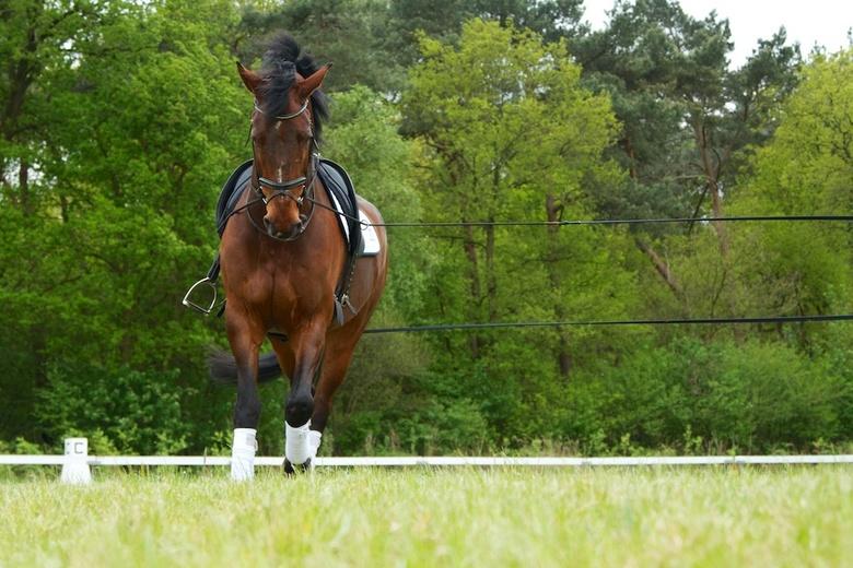 Tsar-halsteren.jpg - Dressuurpaard Tsar aan de longeerlijn. Het lijnenspel vond ik het vastleggen waard