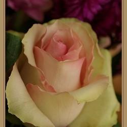 Een roos voor Moeders en jarigen