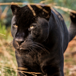 Zwart gevlekte jaguar