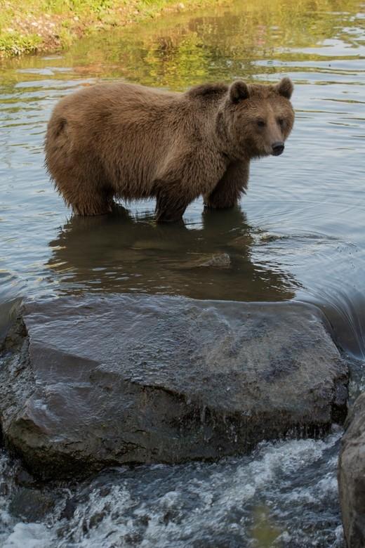 Europese bruine beer  - Terwijl we bij de Kamtsjatka beren stonden te kijken kwam er een verzorger aan die wat eten in het verblijf gooide. Zegt ze op