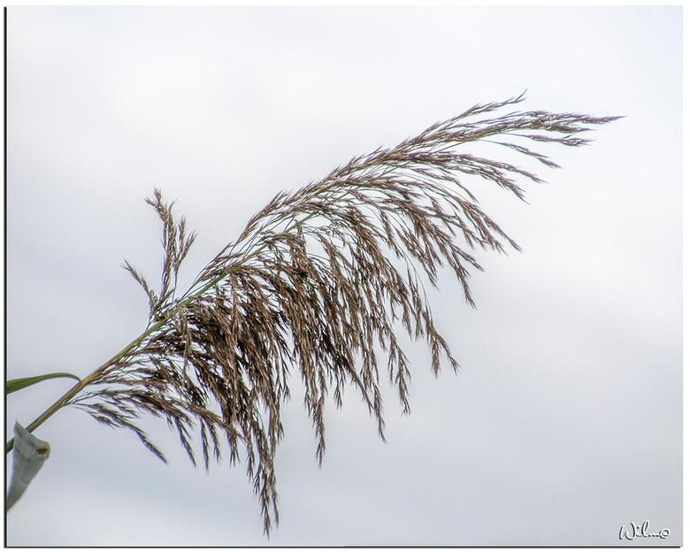 Rietpluim - Altijd mooi die rietpluimen