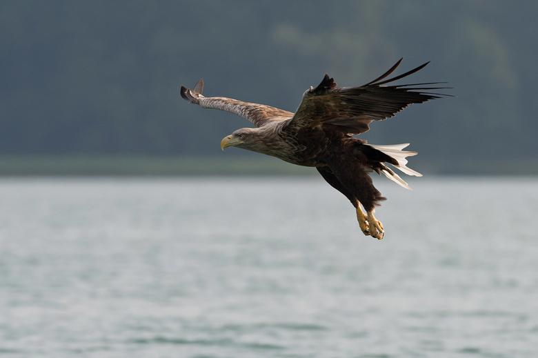 Zeearend - &quot;Op foto klikken is mooier&quot;<br /> <br /> Tijdens de 4 dagen dat ik in Oost Duitsland heb gevogeld was de ontmoeting met de Zeea