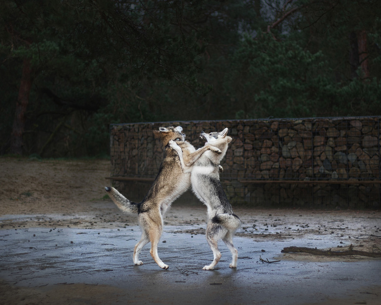 dancing with wolves - Moment opname tijdens spel