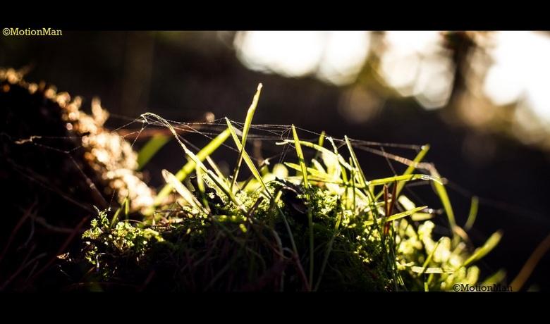 Tegenlicht - Polletje van gras en mos op de Veluwe in de ochtendzon.<br /> <br /> Watermerken staan erin omdat er helaas wel wat is gekopieerd. Ik w