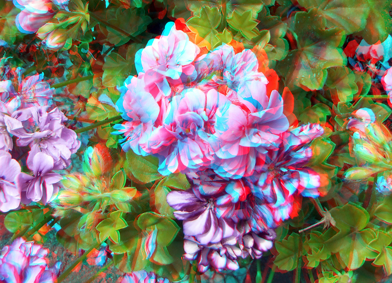 Geranium in stereo - Bloemen  Fuji W3  cha-cha<br /> 3d stereo anaglyph red/cyan