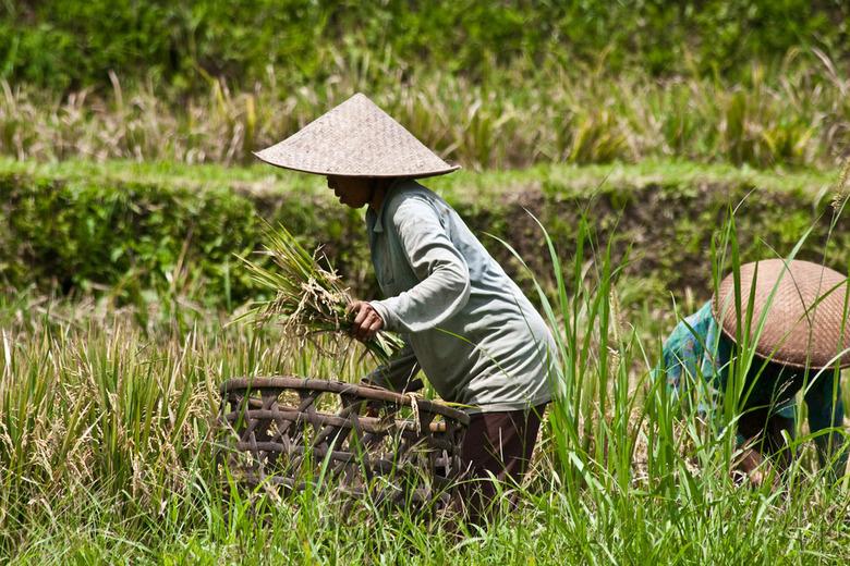 Rijst plukken - Dames hard aan 't werk, Jatiluwihm, Bali