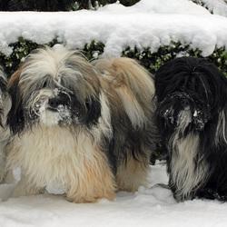 Sneeuwhondjes