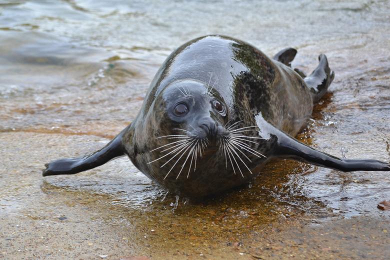 Zeehond - Boudewijn Seapark