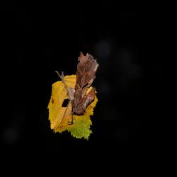 Leaf on a string