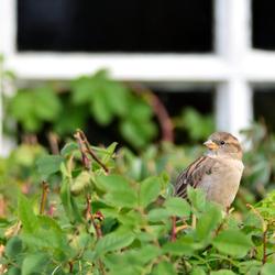 Sparrow Guard!