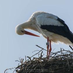 Ooievaar bouwt een nest