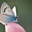 Blauwtje op vingertop