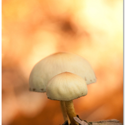 Fungi Flavours