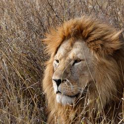 Leeuw wat heb je mooie manen