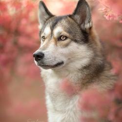 Wolfhond tussen de eerste bloesem