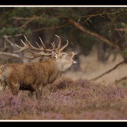 burle Red Deer
