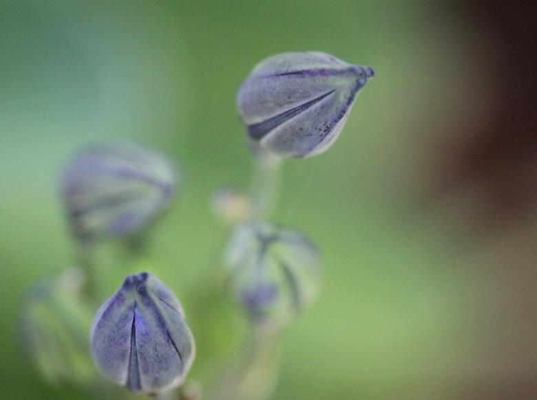 Triteleia knop - De mini knoppen van de Triteleia bloem met macrolens en tussenringen. Ook de ringflitser gebruikt met een lage dosering extra licht.