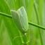 Groene Eikenbladroller