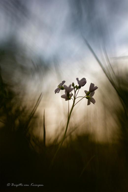 Just before the thunderstorm - Wat kan de natuur prachtig zijn in al zijn eenvoud.<br /> &quot;gewoon&quot; maar een pinksterbloem, alleen dan wel in
