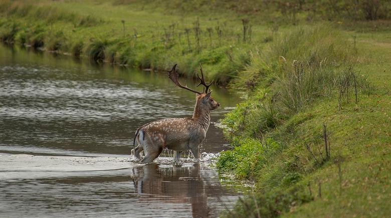 Hert in het water -